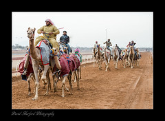 """""""Camels being Trained for Racing - 3"""" .......................................Ras al Khaimah - UAE (flavius200) Tags: flavius200 dorking photocraft omani portrait camera club bedu bedouin arabia desert sand scrub mountain nikon d800 d800e wilfred thesiger desolate isolated uae 4x4 camping alone traveller exploring tribes david harford morning evening night market souk souq survival camel raceing money competition"""