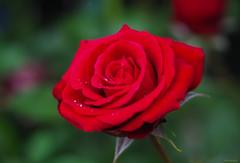 red rose (Christine_S.) Tags: flower bloom blossoms japan olympus omd olympusem10markiii hybridtea rosebush raindrops rain waterdrops garden nature mygarden floralphotography ngc npc redflowers redroses