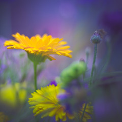 wildflower (Dhina A) Tags: sony a7rii ilce7rm2 a7r2 a7r iscoopticultramc95mmf2 isco optic ultra mc 95mm f2 cinema projector projection lens schneider soft creamy smooth bokeh manualfocus iscooptic wildflower flower summer