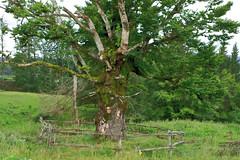 Il vecchio faggio (terziluciano) Tags: faggio colindes tambre cansiglio albero santanna veneto 1001nightsthenew