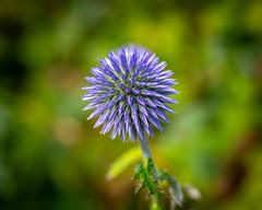 Blue (J. Pelz) Tags: flower bokeh botanic naturelovers garden 50mm nature slite gotlandcounty sweden