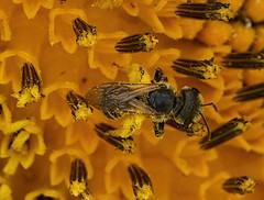 Little Bee (kendoman26) Tags: hmm happymacromonday bee sunflower sonyalpha sonyphotographing sel90m28g macro fe90mmf28macrogoss