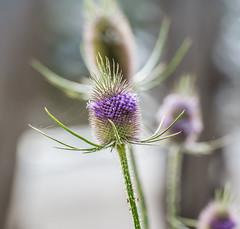 Wild Art. (Omygodtom) Tags: plant wildflower thistle contrast colorful colours outside usgs nikon70300mmvrlens d7100 dof perspective bokeh algorithm