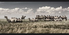 Gobi camel park (Jamie B Ernstein) Tags: mongolia gobi desert gobidesert asia bulagtai camels panorama sky clouds muted nikon