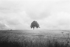 Olympus AF-1 (camera_holic) Tags: olympus af1 compact 35mm old retro camera ilford hp5 plus grain black white sole solitary tree lone lonely glos gloucestershire field crops didmarton landscape