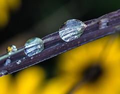 Rain Drop Macro. (Omygodtom) Tags: water algorithm tamron90mm macro scene outside trail natural nature colours d7100 dof usgs