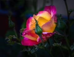 DSC_8461-3 (adenkis) Tags: rose flower bud macro nature naturephotography natureinfocusgroup