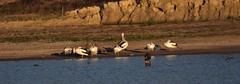 Birds at the dam (Luke6876) Tags: australianpelican pelican pelicans cormorant cormorants duck ducks bird animal wildlife australianwildlife nature