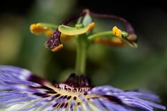 Passiflora caerulea (Ce Rey) Tags: macro flower detail passiflora planta botanic dof shallowdepthoffield efs60mmf28macrousm plant yellow purple lila violeta amarillo polen detalle canoneosrebelt3i