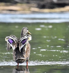 (mmcguire500) Tags: wildlifephotography wildlife birds duck bif