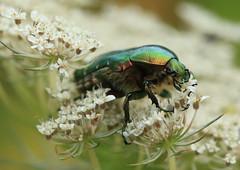 N02A9463bis (tineandthecats@gmail.com) Tags: cétoine dorée insecte nature