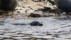 Grey Seal (Wildlife Terry) Tags: greyseals farneislands northumberland englishsummer july2019