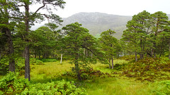 Damp Flush (prajpix) Tags: pine pinewood ancient forest woodland nature native wood woods green weather rain hills mountains trees bracken understorey woodlands glen cannich strath invernesshire highlands scotland