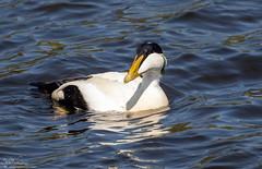 Sunny Eider Drake (Steve (Hooky) Waddingham) Tags: animal amble countryside coast bird british nature northumberland mute swan flight duck eider coquet wild wildlife wildfowl