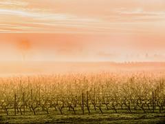 MorningPink.jpg (Klaus Ressmann) Tags: klaus ressmann omd em1 autumn fburie landscape mist vineyard design flcnat minimal softlight klausressmann omdem1