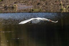 Mute Swan Flypast (Steve (Hooky) Waddingham) Tags: animal amble countryside coast bird british nature northumberland mute swan flight duck eider coquet wild wildlife wildfowl