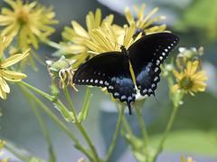 Black swallowtail butterfly Duke Gloucester Street Colonial Willamsburg Virginia