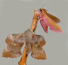 Poplar Hawk-moth and Elephant Hawk-moth (Nick Dobbs) Tags: poplar hawkmoth laothoe populi elephant deilephila elpenor insect dorset sphingidae