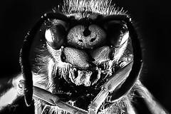 P52-2019-#30 (matayo74) Tags: 2strobe 2019 6d insecte macro matayo p52 strobist lowkey