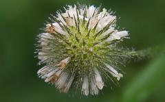 Wassertropfen auf Blüte (Chridage) Tags: wasser wassertropfen blüte blossom waterdrops blume flower