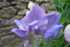 Sweet pea (Stitchinscience) Tags: flower sweetpea purple