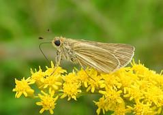 Salt Marsh Skipper - Panoquina panoquin (annette.allor) Tags: grass skipper butterfly flower panoquinapanoquin salt marsh marshes bay