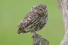 Little Owl (drbut) Tags: littleowl athenenoctua birdofprey raptor bird birds farmland avian wildlife nature