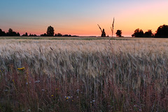 Crop field (Teemu Porola) Tags: sunset field crop hay red summer evening finland europe countryside trees flowers blue outside outdoor yellow nature landscape