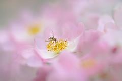 Hovering in Pink (lfeng1014) Tags: hoveringinpink hoverfly wildrose pinkrose flower flowermacro macro macrophotography canon5dmarkiii ef100mmf28lmacroisusm depthoffield dof closeup bokeh light lifeng