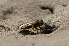 Crabronidae - Bembix sp. (Phil Arachno) Tags: germany mainzersand rheinlandpfalz hymenoptera