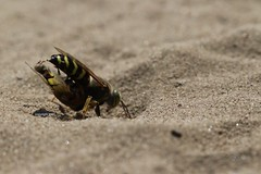 Crabronidae - Bembix sp.with Syrphidae prey (Phil Arachno) Tags: germany mainzersand rheinlandpfalz hymenoptera bembix