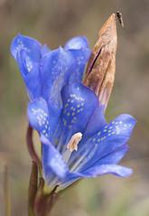 Marsh gentian (beaconschris5050) Tags: pentax