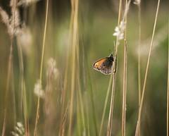 Coenonympha pamphilus (agnieszka.a.morawska) Tags: helios44m beyondbokeh bokehlicious bkhq bokeh łąka meadow butterfly motyl coenonymphapamphilus