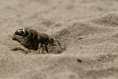 Crabronidae - Bembix sp. with Syrphidae prey (Phil Arachno) Tags: germany mainzersand rheinlandpfalz hymenoptera