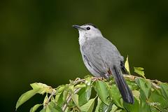 Gray Catbird (jt893x) Tags: 150600mm bird catbird d500 dumetellacarolinensis graycatbird jt893x nikon nikond500 sigma sigma150600mmf563dgoshsms songbird thesunshinegroup coth alittlebeauty coth5 ngc
