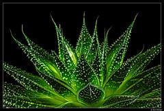 Succulent (Ken Mickel) Tags: beautiful kenmickelphotography plants succulents blackbackground closeup nature photography