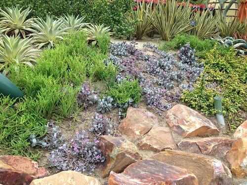 More Disneyland Succulents