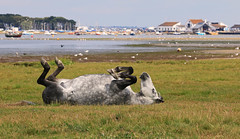 This is the life! (myraemery) Tags: stanpit marsh christchurch harbour dorset uk pony mudeford views sea boats horse hengistbury heath canoneos70d