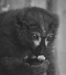 Among the Lemurs (henriksundholm.com) Tags: lemur animal animals zoo parkenzoo bw blackandwhite monochrome tongue eyes fur portrait portraiture hand fingers paw redbelliedlemur 60mm eskilstuna sverige sweden