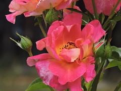 DSCN0055 (keepps) Tags: switzerland suisse schweiz summer fribourg montbovon flower garden rose
