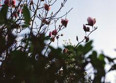 Magnolia Crescent Moon (Irish Normal) Tags: mamiya m645 1000s mediumformat 120mm 645 6x45 sekor sekorc 80mm f28 standard 50mm kodak portra400 portra ireland moon magnolia film c41