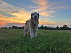 Molly (Cherryl.B) Tags: chien dog hund goldenretriever prés herbe soleil nuages ciel horizon nature