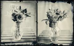 """2 Weeks"" - Diptych (Blurmageddon) Tags: largeformat wetplatecollodion epsonv700 alternativeprocess senecaimprovedview8x10 85inchkodakcommercialektar coppersulfatedeveloper potassiumnitrate newguycollodion 8x10 bouquet diptych"