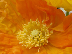 Natuur, bloemen.000 (George Ino) Tags: bloemen flowers georgeinocopyright georgeinohotmailcom natuurnaturenatur thenetherlandsnederlandholland utrecht papavernudicaulecultivar icelandpoppycultivar papaver klaproos sumer zomer dzuiko50mmf22 ngc olympusdzuiko50mmf22 macromakro