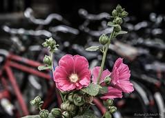 Amsterdam City Hollyhock (De Hollena) Tags: alcearosea amsterdam bicycle fahrrad fiets holland lespaysbas malvarosa nederland niederlande noordholland nordholland rijwiel rosetrémière stockrose stokroos thenetherlands velo vélo bicyclette bike hollyhock