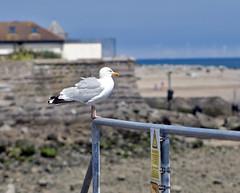 Seagull Beware! (Gill Stafford) Tags: gillstafford gillys image photograph wales northwales conwy rhosonsea resort toirism gull seagull summer