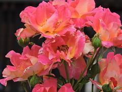 DSCN0053 (keepps) Tags: switzerland suisse schweiz summer fribourg montbovon flower garden rose