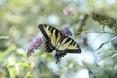 2019 209/365 7/28/2019 SUNDAY - Female Yellow Morph Eastern Tiger Swallowtail on Butterfly Bush (_BuBBy_) Tags: 2019 209365 7282019 sunday female yellow morph eastern tiger swallowtail butterfly bush 7 28 28th sun su papilio glaucus females may be either or black making them dimorphic july 365 209 days 365days project project365 sterling virginia va loudoun county
