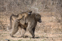 Chacma Baboon (Ben Locke.) Tags: chacmababoon baboon wild wildlife nature africa southafrica