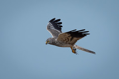 Montagu's harrier (JS_71) Tags: nature wildlife nikon photography outdoor 500mm bird new summer see natur pose moment outside animal flickr colour poland sunshine beak feather nikkor d500 wildbirds planet global national wing eye watcher